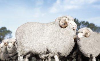 Merinoschafe werden heutzutage hauptsächlich in Australien und Neuseeland gezüchtet. Dank des dortigen Klimas hat ihre Wolle viele wertvolle Eigenschaften.