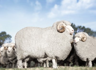 Wunderfaser Merinowolle | Was diese Wolle so besonders macht
