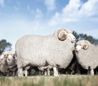Die Wolle der Merinoschafe hat besondere Eigenschaften.