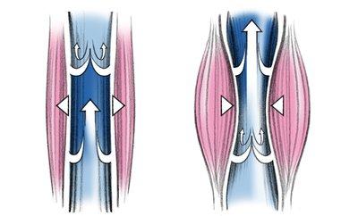 calf muscle as blood pump
