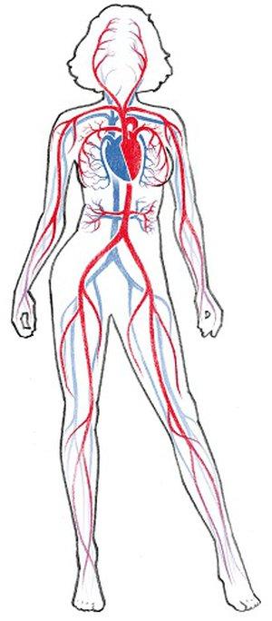 Herz-Kreislauf-System | Funktion und Aufgabe im Körper | Ofa Bamberg
